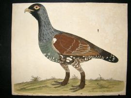 Albin: 1730's Hand Colored Bird Print. Mountain Cock of Moscovia